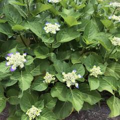 紫陽花 庭の紫陽花が咲き始めました。  我が家は…