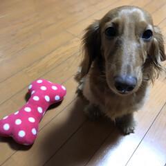 わんこのおもちゃ/ペット/ダックスフンド 娘がお小遣いで お犬様におもちゃをプレゼ…
