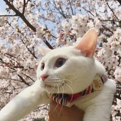 桜/お花見/おはにゃみ/桜と猫/春/ペット/... 一緒にお花見*:.。:*・(=^ェ^=)…