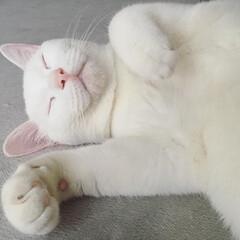 猫/白猫/にゃんこ同好会/ペット/にゃんこ/寝顔/... アブラカタブラ〜♪