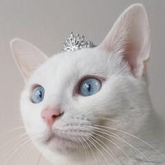 プリンセス/うちの子記念日/ベストショット/ティアラ/ペット/白猫/... うちの子記念日の我が家のプリンセス(=^…