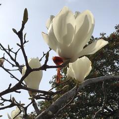 小さい春 青空に白い花大きな花が枯れれ枝の先端にポ…(2枚目)