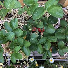 収穫 イチゴの収穫時期がやって来ました❗️ 毎…(2枚目)