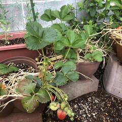 収穫 イチゴの収穫時期がやって来ました❗️ 毎…(1枚目)