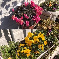 パンジー/シクラメン/さくら草/花 暖かいとお花達も咲き誇ってますね🍀🍀 生…