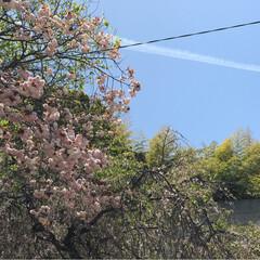 春の空/さくら/飛行機雲