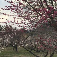 菜の花/梅の花/癒し/風景 梅の花満開✨✨✨ 綺麗 良い香り🍀菜の花…(2枚目)