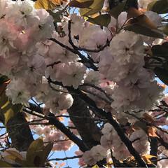 春の空/さくら/飛行機雲 (2枚目)