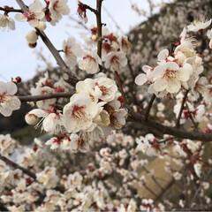 菜の花/梅の花/癒し/風景 梅の花満開✨✨✨ 綺麗 良い香り🍀菜の花…