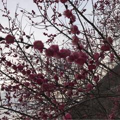菜の花/梅の花/癒し/風景 梅の花満開✨✨✨ 綺麗 良い香り🍀菜の花…(3枚目)
