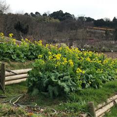 菜の花/梅の花/癒し/風景 梅の花満開✨✨✨ 綺麗 良い香り🍀菜の花…(4枚目)