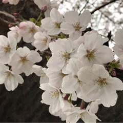 春うらら/桜/桜 お花見 職場の桜🌸 満開とまではいきませんが🌸🌸…