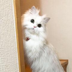 可愛い猫/もふもふ/多頭飼い/猫/チンチラシルバー/ペルシャ猫/... 外の風に驚きお目目くりくりなメル😆💓 ペ…