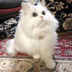 もふもふ/モフモフ/可愛い/ペット/癒し/ネコ/... メル じゃらし大好き娘❤️