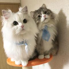 成猫/愛猫/モフモフ/ウチの猫/うちの子ベストショット/うちの子自慢/... ペルシャチンチラシルバー  メル 1歳 …