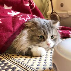 ぬくぬく/立ち耳スコ/スコティッシュ/スコティッシュフォールド/愛猫/ペット/... ルイ  こたつは最高だにゃん⤴︎😽❤️