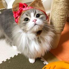うちの猫/スコティッシュ/スコティッシュフォールド立ち耳/スコ/立ち耳スコ/癒し/... ルイ バレンタインが近いのでハートルイは…