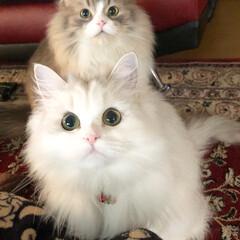 多頭飼い/癒し/ふわふわ/モフモフ/愛猫/可愛い猫/... ペルシャのメル😸 スコティッシュのルイ😸…