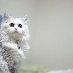 チンチラシルバー/ペルシャチンチラ/ペルシャ猫/癒し/cat/ねこ/... メル フクロウ🦉みたい😆ww