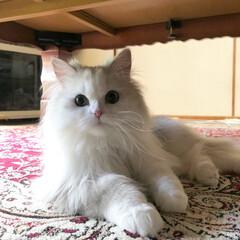 自慢のペット/猫好き/愛猫/うちの子自慢/隠し撮り/モフモフ/... ママに隠し撮りされたにゃ🤭