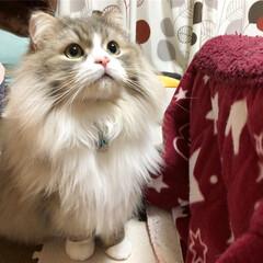 もふもふ/かわいい/愛猫/スコ/スコティッシュ/スコティッシュフォールド/... 昨日のルイ💕