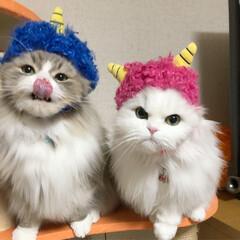 うちの子自慢/仲良し/cat/癒し/ペルシャチンチラ/ペルシャ猫/... 我が家のちっちゃな赤鬼さんと青鬼さん👹💨💨