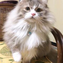 ペット/猫/スコティッシュ/スコティッシュフォールドロングヘア/愛猫/スコ/... ルイ かなりモフってきたよ〜😽💗