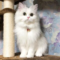 チンチラ/ペルシャ猫/愛猫/癒し/ペット/猫/... メル おすましショット💓