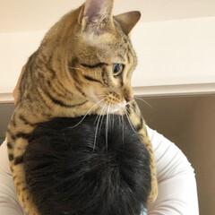 ブラウンスポテッドタビー/ベンガル/ベンガル猫/虎吉/LIMIAペット同好会/ペット/... パパの頭に乗るよ〜🐯💓  おとなしいのは…