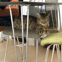 ブラウンスポテッドタビー/ベンガル/ベンガル猫/虎吉/フォロー大歓迎/ペット/... ひとつの椅子じゃ足りず、贅沢に二個使い🐯…