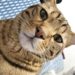 ブラウンスポテッドタビー/ベンガル/ベンガル猫/虎吉/LIMIAペット同好会/ペット/... ね、ねむたいにゃん。🐯 . . 眠たすぎ…