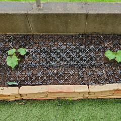 花壇/人工芝/庭/家庭菜園/バジル/オクラ/... 義母に野菜の苗を買ってもらったので、花壇…