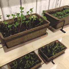 DCM栽培セット/フォロー大歓迎/DIY/キッチン/セリア すくすく育ってます。 毎日見ては和む朝。…