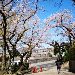 春が来た/春色/風景写真/晴天/青空/春の花/... 三女の小学校の桜です。 空の青と桜のピン…
