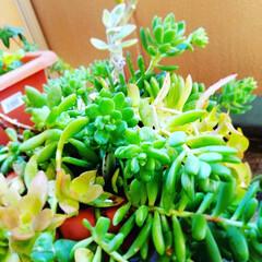 ベランダガーデニング/ベランダガーデン/お庭/インテリア/ガーデニング/多肉植物がある暮らし/... 観葉植物!お水をあげると心做しか喜んでる…