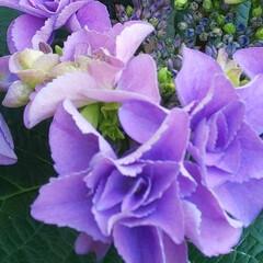 紫陽花/季節の花/梅雨時期/あじさい/ガーデニング/プランター 昨年、挿し木で植えてた紫陽花が 咲きまし…