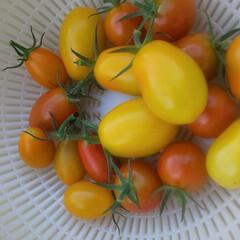 無花果/プランター菜園/ミニトマト/家庭菜園 挿し木して3年目になる無花果の木に 実が…(2枚目)