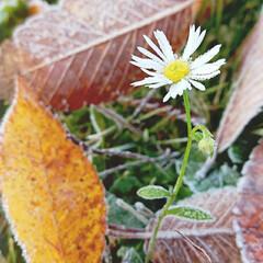 初霜/野花/放射冷却/朝日 今朝は初霜でした 落葉に 野花 朝日に照…