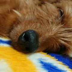笑う犬/MIX犬/ミックス犬 犬も寝言みたいなの 言うことありますよね…