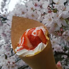 花見スポット/春限定/クレープ/お花見日和/お花見スポット/ミニチュアダックスフンド/... 花🌸よりクレープ💕