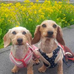 お出かけ日和/お散歩/犬バカ/わんこ部/菜の花/お揃いコーデ/...  菜の花🐶📷 きれいに咲いてた😊  チョ…