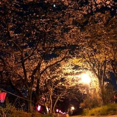 夜桜/お花見巡り/お花見スポット/写真好き/カメラ女子/カメラ部/...  夜桜🌸