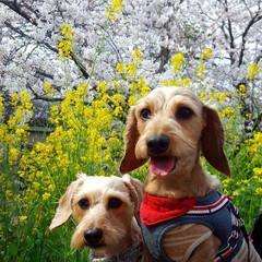 満開/お花見/春が好き/お散歩コース/お花見スポット/お花見日和/...  お散歩コースは🌸満開🎶