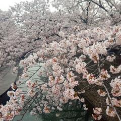 ドライブデート/おしゃれカフェ/カフェ時間/カフェ巡り/写真好き/多頭飼い/...  今年もたくさんお花見🌸できた😊🎶