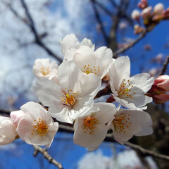 お花見日和/桜の木/わんことお花見/春が好き/わんこは家族/癒しわんこ/...  桜🌸咲いてた😊🎶