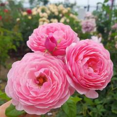 ピンク好き/大好きな花/薔薇まつり/薔薇/カフェデート/ドライブデート/...  薔薇🌹見てきた😊