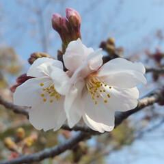 カフェ巡り/お出かけ日和/ドライブデート/ワイヤー/多頭飼い/ミニチュアダックスフンド/...  桜🌸咲いてた✨