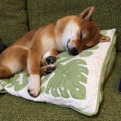 おやすみなさい/可愛い犬/かわいい/しばいぬ/柴犬/LIMIAペット同好会/... スヤスヤ・・・💤
