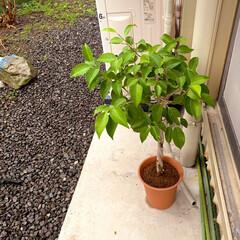 観葉植物/ベンジャミン/グリーンのある生活を目指して/グリーンのある暮らし/暮らし 新しくお迎えしたベンジャミンさん。 この…