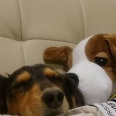 ミニチュアダックス/LIMIAペット同好会/ペット仲間募集/おやすみショット 健気なワンコ 寝てる時がこりゃーまたたま…